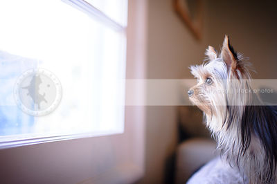 portrait of cute yorkie dog looking out window at home indoors