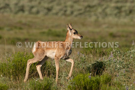 pronghorn_fawn_trot
