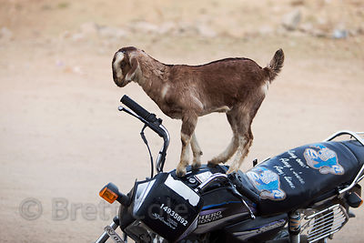 Goat on a motorcycle, a normal scene in Kharekhari village, Pushkar, Rajasthan, India