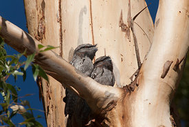 Two Tawny Frogmouths in a gum tree