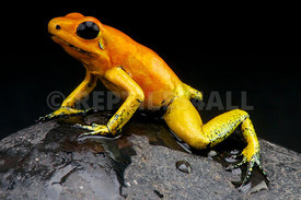 "Phyllobates terribilis, Golden dart frog ""orange form"", Chaco,Colombia"