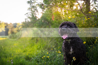 black curly hair mixed breed dog sitting in summer meadow