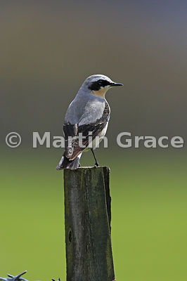 Northern Wheatear male (Oenanthe oenanthe), Loch Ruthven, Scottish Highlands