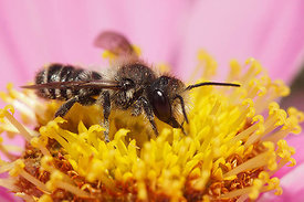 Megachile species on Cosmos bipinnatus