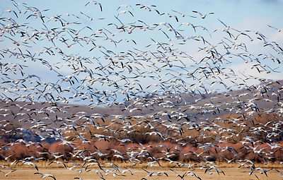 Morning_Snow_Geese-7376