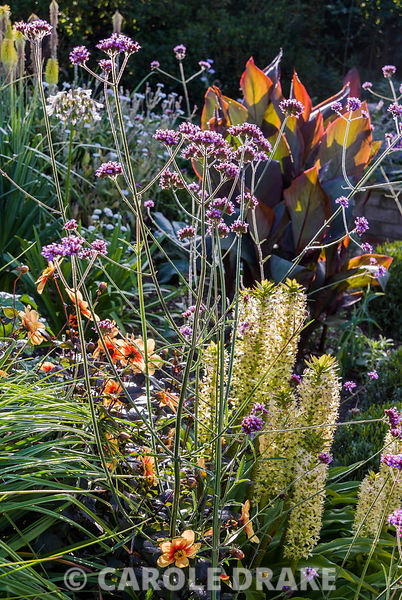 Backlit forms of eucomis, Verbena bonariensis, dahlias and cannas. Crab Cottage, Shalfleet, Isle of Wight, UK