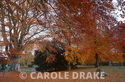 Beeches turn a deep orange in autumn at Cranborne Manor Garden, Dorset
