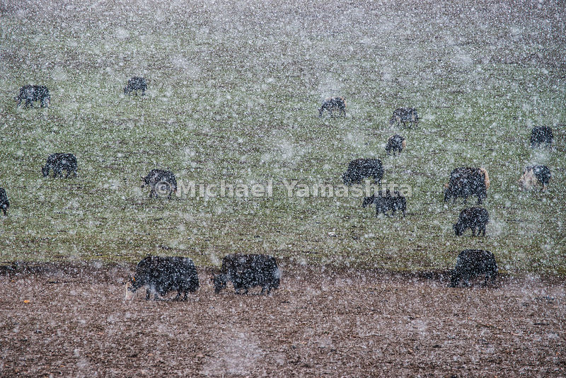 An early snowstorm veils a herd of yaks grazing along the Yalong River.