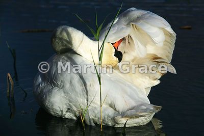 A Mute Swan (Cygnus olor) preening in angled, late afternoon sunlight