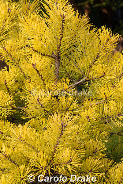Pinus sylvestris 'Gold Medal'. The Sir Harold Hillier Gardens/Hampshire County Council, Romsey, Hants, UK