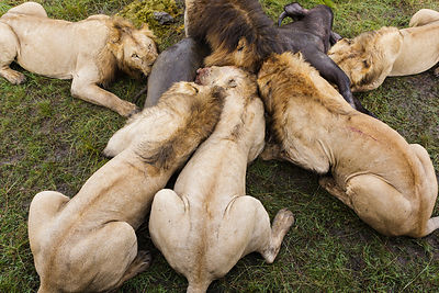 Group of male Lions (Panthera leo) feeding on Buffalo (Syncerus caffer) kill, Masai-Mara game reserve, Kenya.