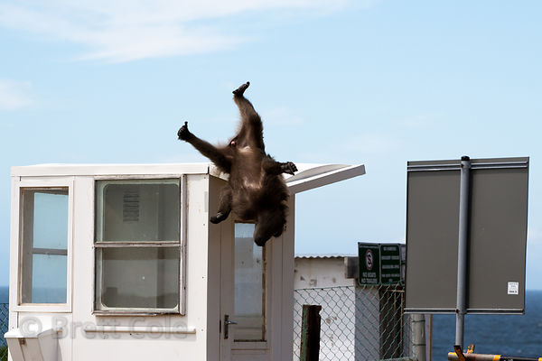 A chacma baboon from the Smitswinkel troop falls off the roof of a ticket booth at the Miller's Point parking lot, Cape Penin...