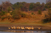 Pelicans in the Luangwa river, South Luangwa National Park, Zambia