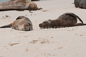 galapagos_sea_lion_sandy_roll_whole_2