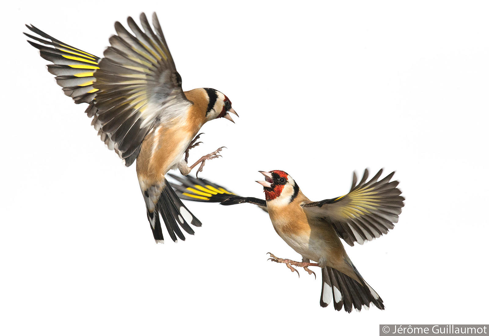 Goldfinch classical fight