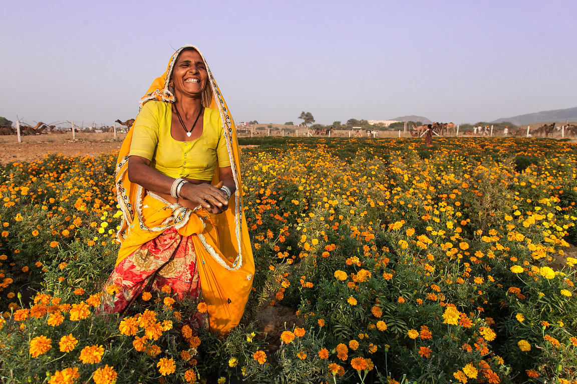 A woman harvests marigold flowers at a small farm near the Hindu holy city of Pushkar, Rajasthan, India