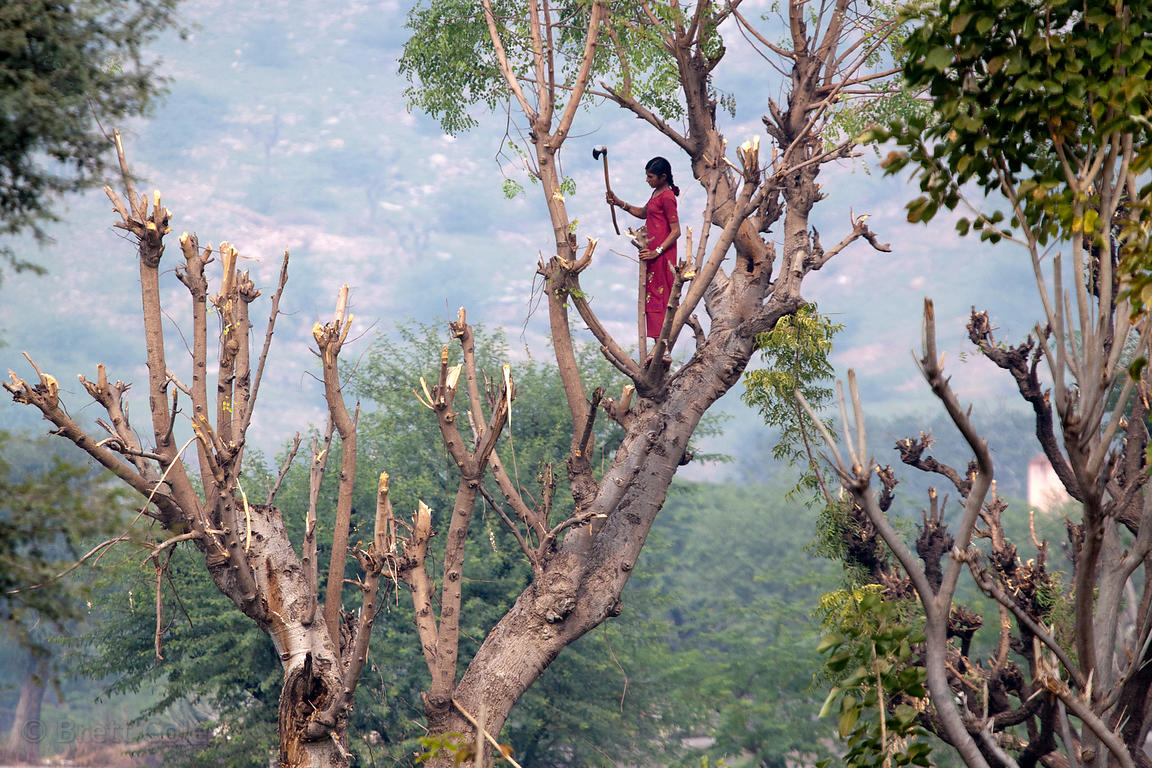 A woman cuts goat fodder from a tree in the rural village of Kharekhari, Rajasthan, India