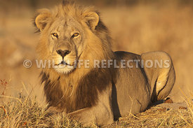 lion_male_resting_haunches_horizontal_1