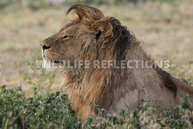 male_lion_resting_brush_ndutu_02202015-1