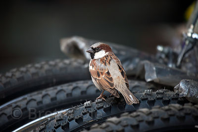 Songbird atop a bicycle tire in Jodhpur, Rajasthan, India