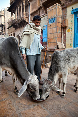 A man feeds his cows in the streets of Jaisalmer, Rajasthan, India