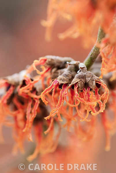 Hamamelis x intermedia 'Gingerbread'. Sir Harold Hillier Gardens/Hampshire County Council, Romsey, Hants, UK