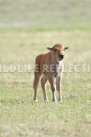 bison_calf_standing_vertical
