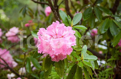 Rhododendron 'Val d'Aulnay', rose