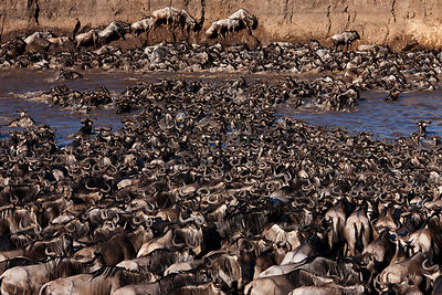 Eastern White-bearded Wildebeest (Connochaetes taurinus) herd crossing the Mara River and clambering up steep bank. Masai Mar...