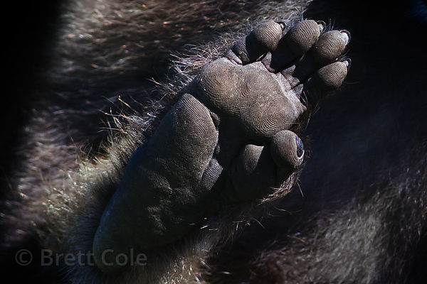 Detail of a foot pad on a baboon from the Buffels Bay troop, Cape Peninsula, South Africa