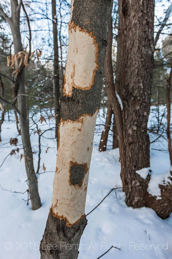 Porcupine Chewed on this Tree in Rosy Mound Natural Area along Lake Michigan