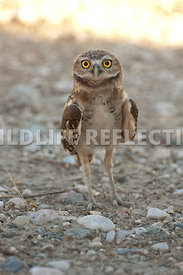 burrowing_owl_in_pebbles_vertical_2