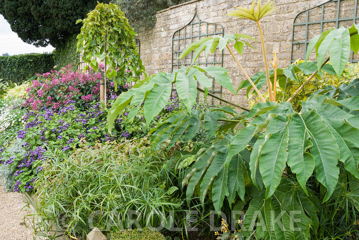 Border full of lush, exotic plants including large-leaved Tetrapanax papyrifer 'Rex', Cyperus alternifolius, deep pink Fuchsi...