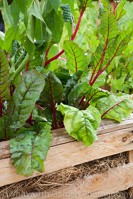 Beta vulgaris cicla (Ruby Chard) and Helianthus (Sunflower) planted in an old wooden crate. © Rob Whitworth