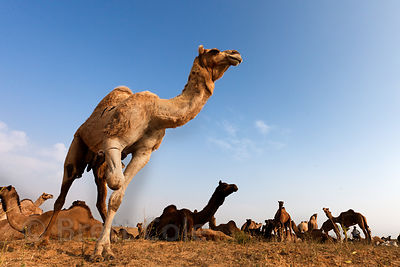 Camels at the Pushkar camel fair 2010, Pushkar, Rajasthan, India