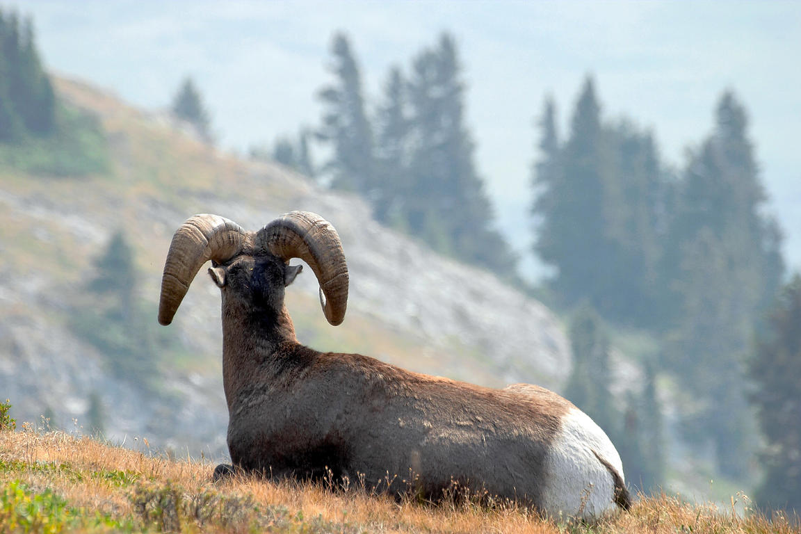Rear-view of bighorn sheep (Ovis canadensis), Wilcox Pass, Jasper NP, Canadian Rockies