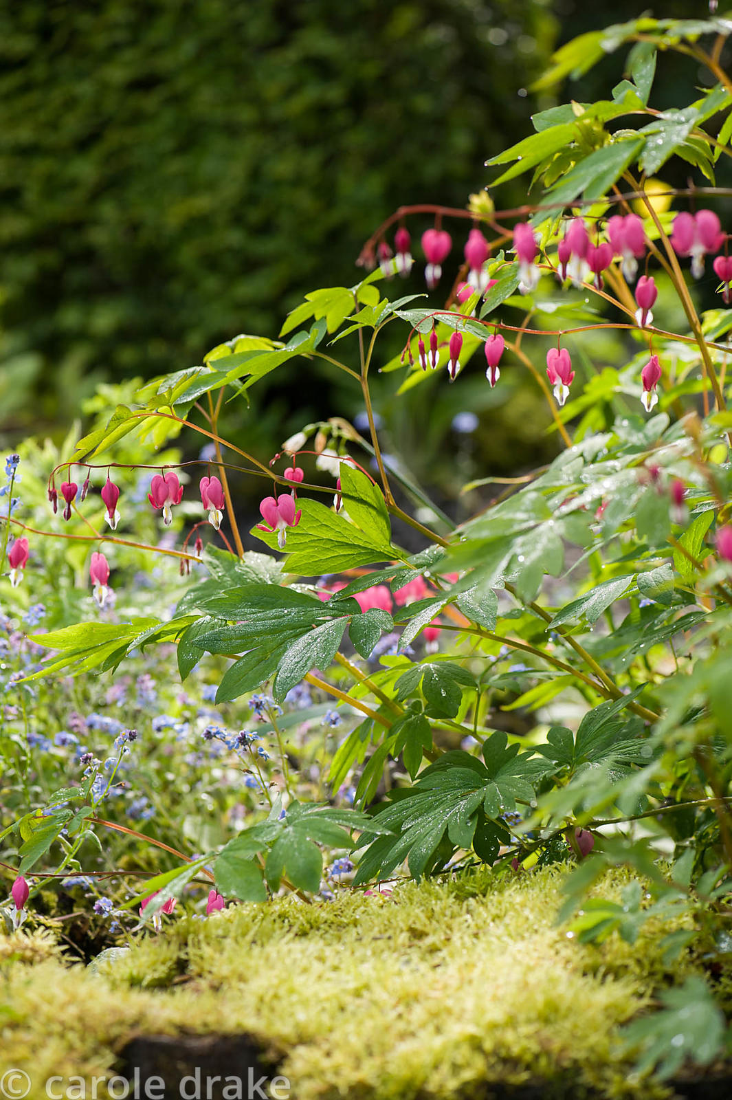 Dicentra spectabilis above a mossy wall colonised by ferns and Chrysosplenium alternifolium in the front garden. Windy Hall, ...