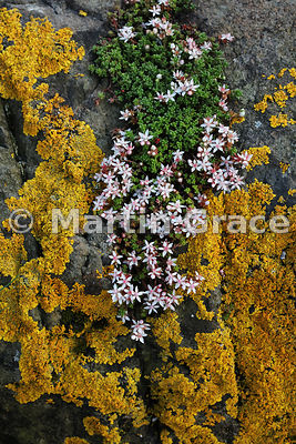 English Stonecrop (Sedum anglicum) on lichen-encrusted rock, Craignure, Isle of Mull, Argyll & Bute,