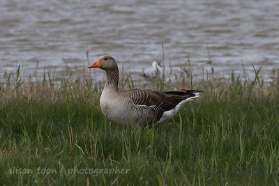 Pink-Footed Geese, Cley