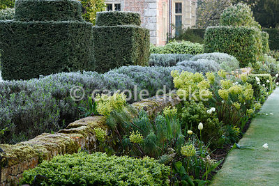 Border with box, euphorbias and white tulips with lavender and clipped yews behind at Heale House, Middle Woodford, Wiltshire...