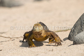 galapagos_land_iguana_north_seymour_walk-5