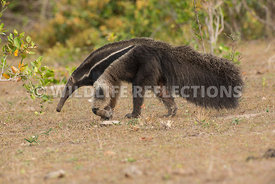 giant_anteater_walking-37
