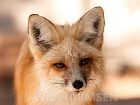 Fox_PortraitII_FinWH
