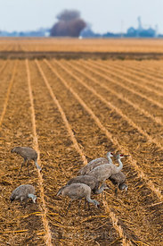 Sandhill Cranes Feeding in Cornfield near the Platte River in Nebraska