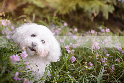 curious little white fluffy dog sitting in deep flowers