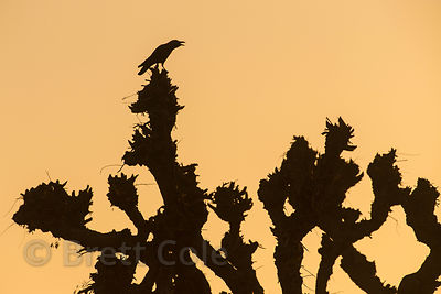Bird silhouetted at sunrise on a desert plant, Chachiyawas village, Rajasthan, India