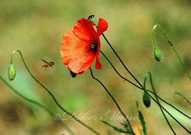 Syrphe et coquelicot Ennery Val d'Oise 07/06