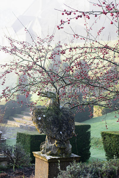Stone eagle amongst red fruits of crab apples in the Fountain Court at Mapperton, Dorset in winter