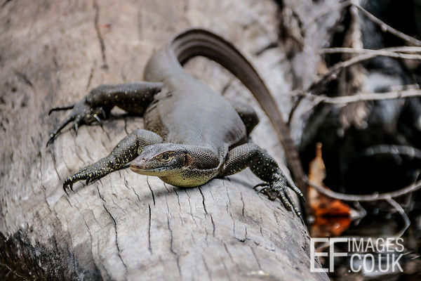 Goanna On A Log