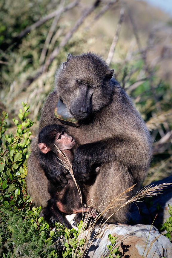 Female chacma baboon from the Smitswinkel troop burdened by a heavy outdated, gps collar used by researchers, Cape Peninsula,...